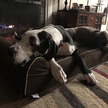 bully bed orthopedic washable u0026amp waterproof big dog beds dane approved