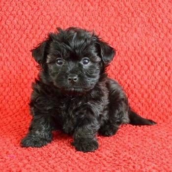 Ogromny Maltipoo Puppies for Sale | PuppySpot YC56