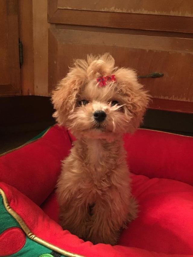 Aktualne Maltipoo Puppies for Sale | PuppySpot QC76