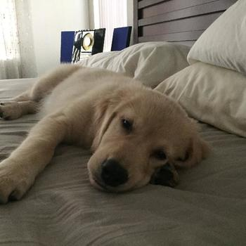 Golden Retriever Lab Mix Puppies For Sale Nc