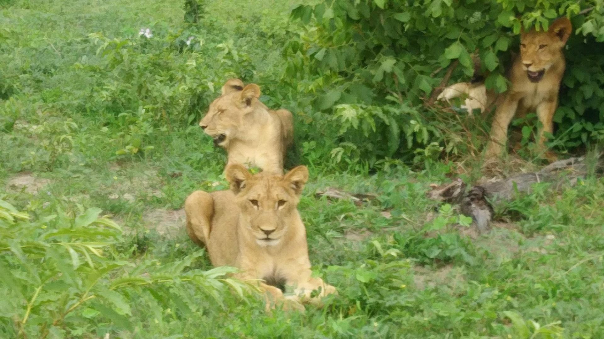 ライオン、象、バッファロー、カバ、キリン、ワニ、ガゼル、インパラ等主要なものを見ることができました。 迫力を求めるならやはり現地のロッジに泊まって早朝のゲームをしなきゃダメかなとも思いました。一泊二日のプランが日本から予約できると楽ですね。 あとはひとり旅でボートやオフロードカーは全部アメリカからの観光客と一緒でした。一緒に盛り上がるのが好きな人は良いと思います。