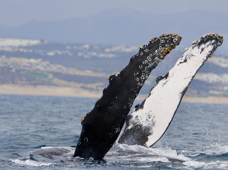 日本語のツアーという事で、一緒に参加された方も日本人の方ばかりで、なんとたまたま知り合いの方もおられて、和やかな雰囲気で出発。朝一の船はいっぱいで予約できなくて、クジラに会えるか心配でしたが、経験豊富なキャプテンがクジラのいるポイントを素早く見つけてくれて、コククジラ、ザトウクジラを間近で見る事が出来ました!ザトウクジラは何回もジャンプする所が見れて大満足でした。ありがとうございました。