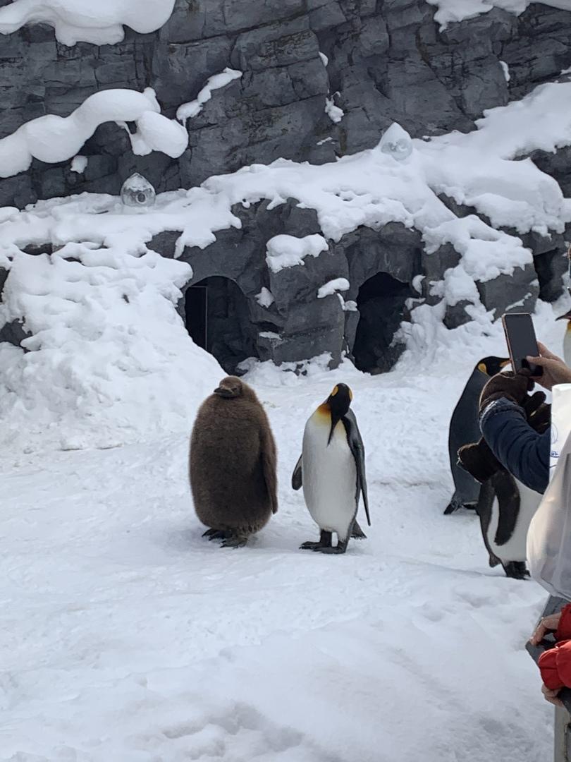 旭山動物園は、ペンギンのお散歩が冬だけなので寒い時期行って良かった!青い池は雪で真っ白で青くなかった…残念