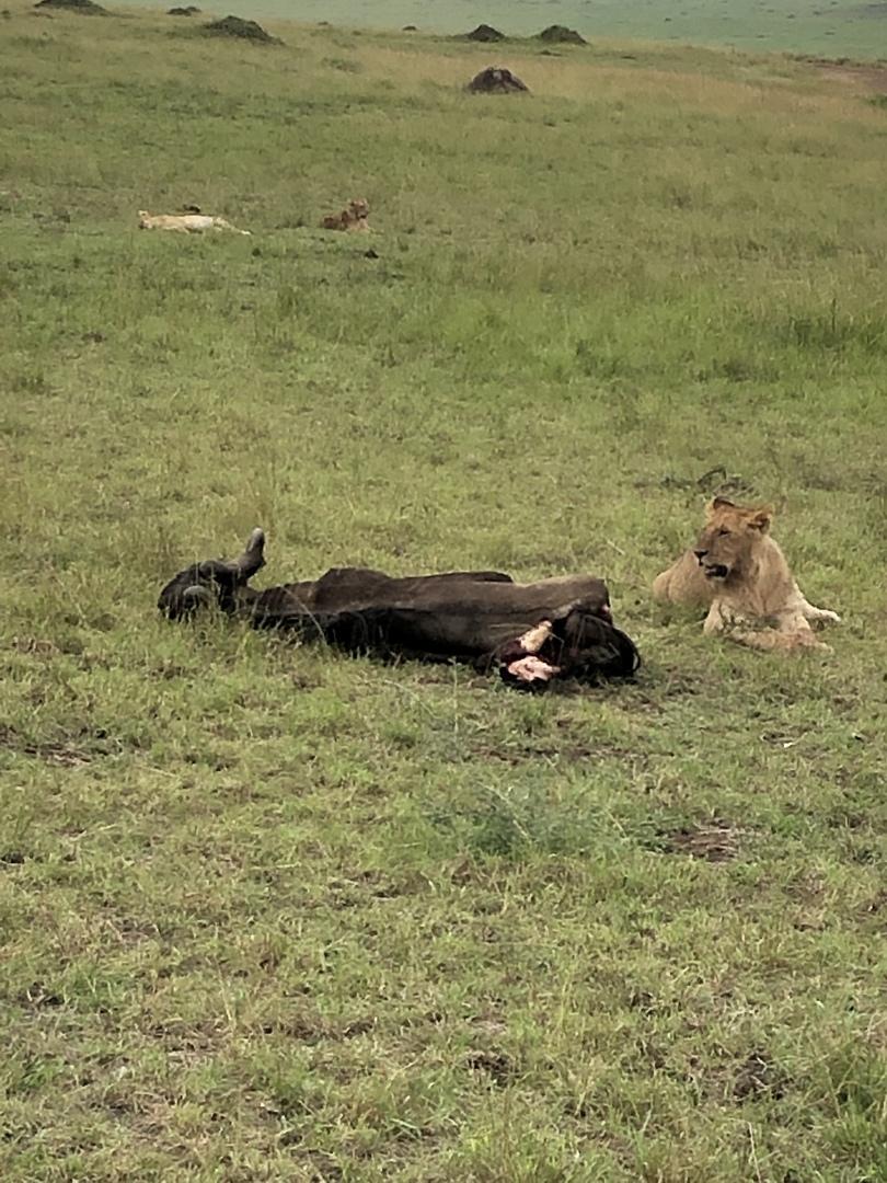 想像を絶する広大な土地に無数の動物、ライオンのハンティング、道に転がる骨と皮だけのカバ、弱肉強食の世界を間近で感じることができ、人生最高経験になりました!珍しいと言われるヌーの川渡りも見ることができ、言葉に表せない程感動しました! ただ、ナイロビからマサイマラまでの舗装されていない道での片道5時間の移動がとにかくしんどかった‼︎ 移動のしんどさを含めても、今この経験ができたことは一生の宝物です! ホテルからの眺めも最高‼︎ホテルからもう少し動物が見えたらなおよかったなと思います。