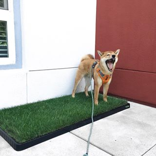 Merveilleux The #XLDoggieLawn Is Perfect For @Rilatheshiba Who Lives In An Apartment  Complex! Her